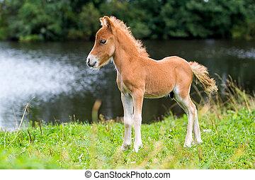 mini, fohlen, pferd, falabella