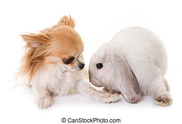 mini lop and chihuahua