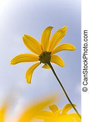 Mini sunflower reaching for the sun