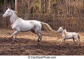 mini, teke, pferd, stute, hengst, akhal