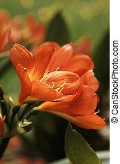 miniata, jaune, (bush, clivia, orange, flowers., lily)