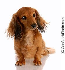 miniatur, dachshund