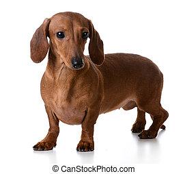 miniatur, glatt, dachshund