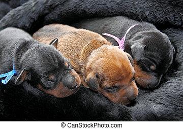 Miniatur,  pinscher, hundebabys