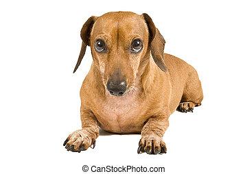 miniatura, dachshund, culpable