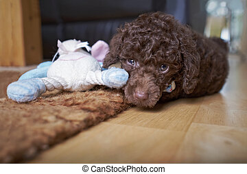 miniatura, perrito, poodle