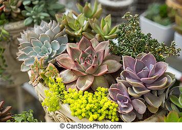 miniatura, suculento, plantas