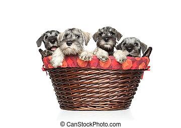 Miniature and standard schnauzer puppies in basket -...