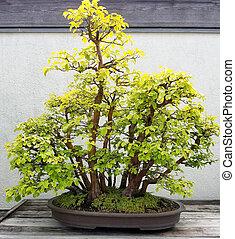 Miniature Bonsai trees