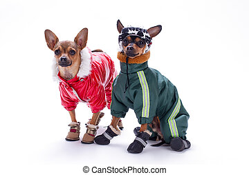 Miniature chihuahua and terrier dogs in clothing.