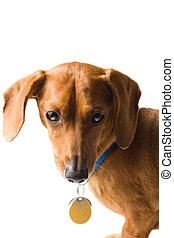miniature, dachshund, øvre krop, på hvide