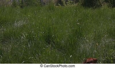 Miniature Dachshund chasing ball in