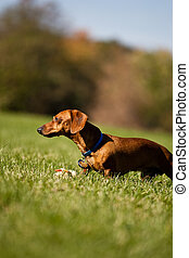 Miniature Dachshund in the grass with his toy