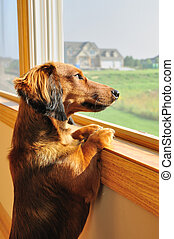 Miniature Dachshund Looking out a Window - Long Haired...