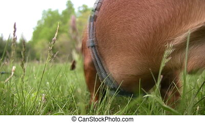 Miniature Dachshund walking through - A closeup of a...