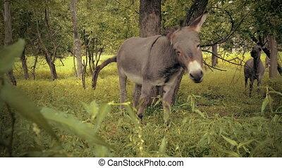 Miniature donkey looking into camera. - Miniature donkey...