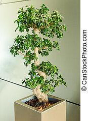 Miniature ficus tree - bonsai Japanese traditional art in interior of modern office