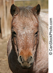 miniature horse, close up