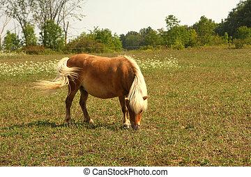 Miniature Horse feeding in field in sun