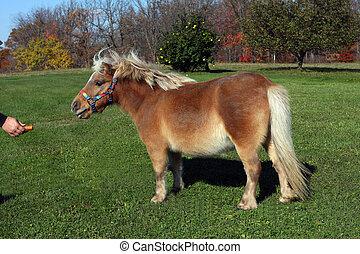 Miniature Horse feeding on carrot in morning sun