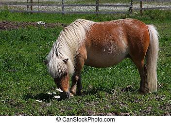 Miniature horse feeding on grass in field in morning sun