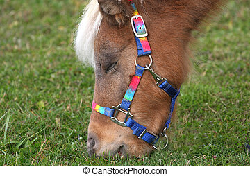 Miniature Horse feeding on grass in morning sun close-up