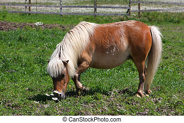 Miniature horse feeding on grass in morning sun in field
