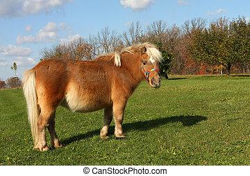 Miniature Horse feeding on grass in morning sun