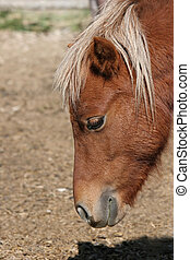 miniature horse from the side