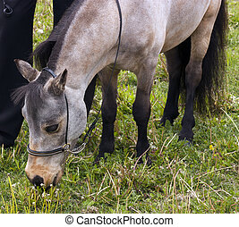 Miniature horse  grazing on meadow