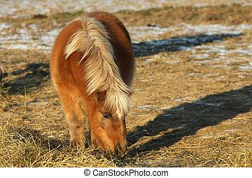 Miniature Horse - Miniature horse feeding in afternoon sun...