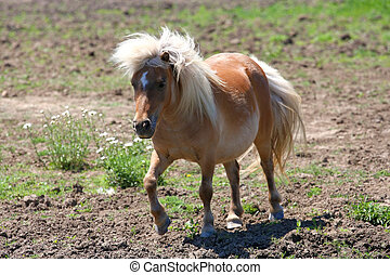 Miniature Horse - Miniature horse in early afternoon sun in...