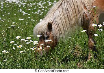 Miniature Horse - Miniature horse in sun in a field of...