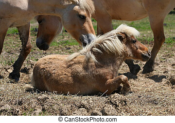 Miniature Horse - Miniature horse laying in field with...