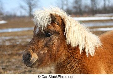 Miniature Horse - Miniature horse profile of head shot in...