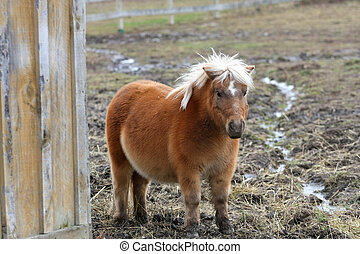 Miniature Horse - miniature horse standing beside barn on...