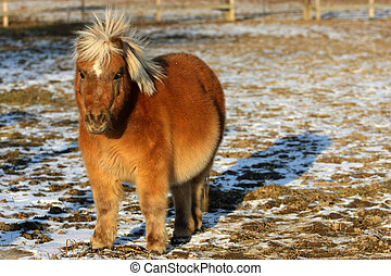 Miniature Horse - Miniature horse standing in late afternoon...