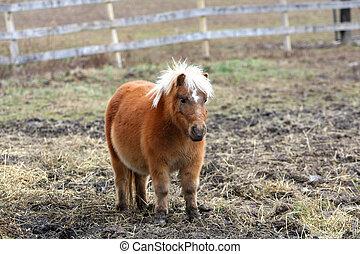 Miniature Horse - miniature horse standing in muddy field on...