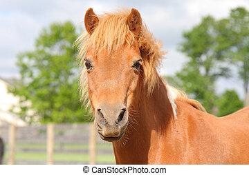 miniature horse portrait