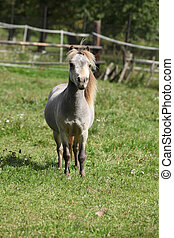 Miniature horse stallion looking at you on pasturage
