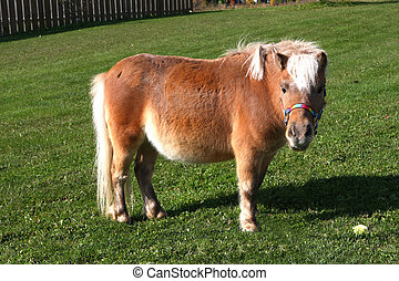 Miniature Horse standing on grass in morning sun