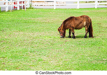 Miniature Horse - The miniature horse in a green grass field