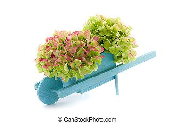 miniature, hortensia, brouette