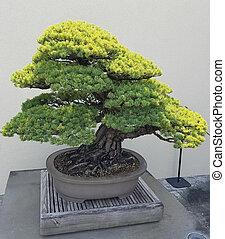 Miniature Juniper Bonsai