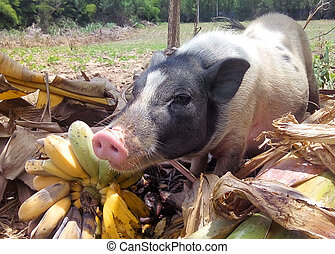 Miniature pig eat banana in natural environment