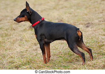 Miniature Pinscher Dog on a grass