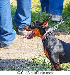 Miniature Pinscher dog on a leash with the owner