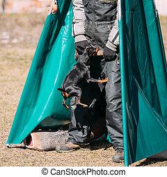Miniature Pinscher dog training. Biting dog. Zwergpinscher, Min Pin