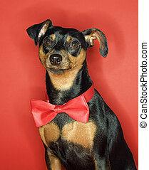 Miniature Pinscher dog with bowtie. - Miniature Pinscher dog...