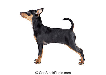 miniature, pinscher